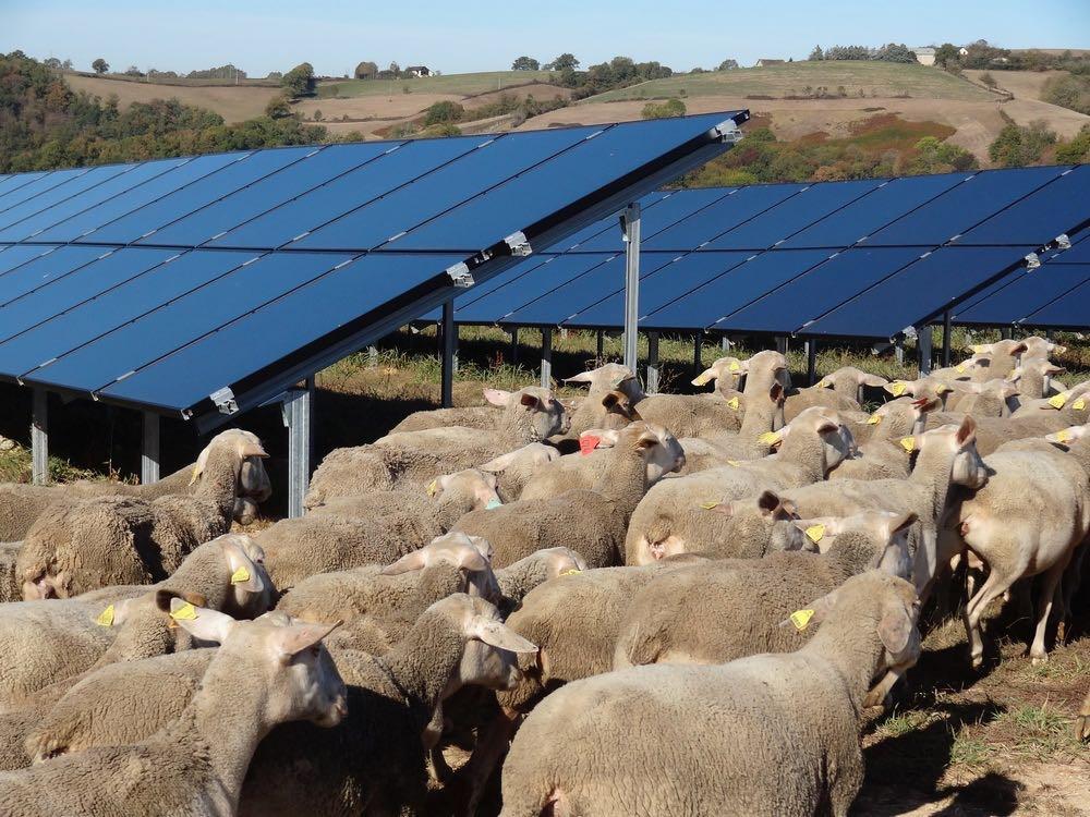 Panneaux photovoltaïques et brebis.