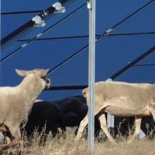 panneaux photovoltaiques et moutons